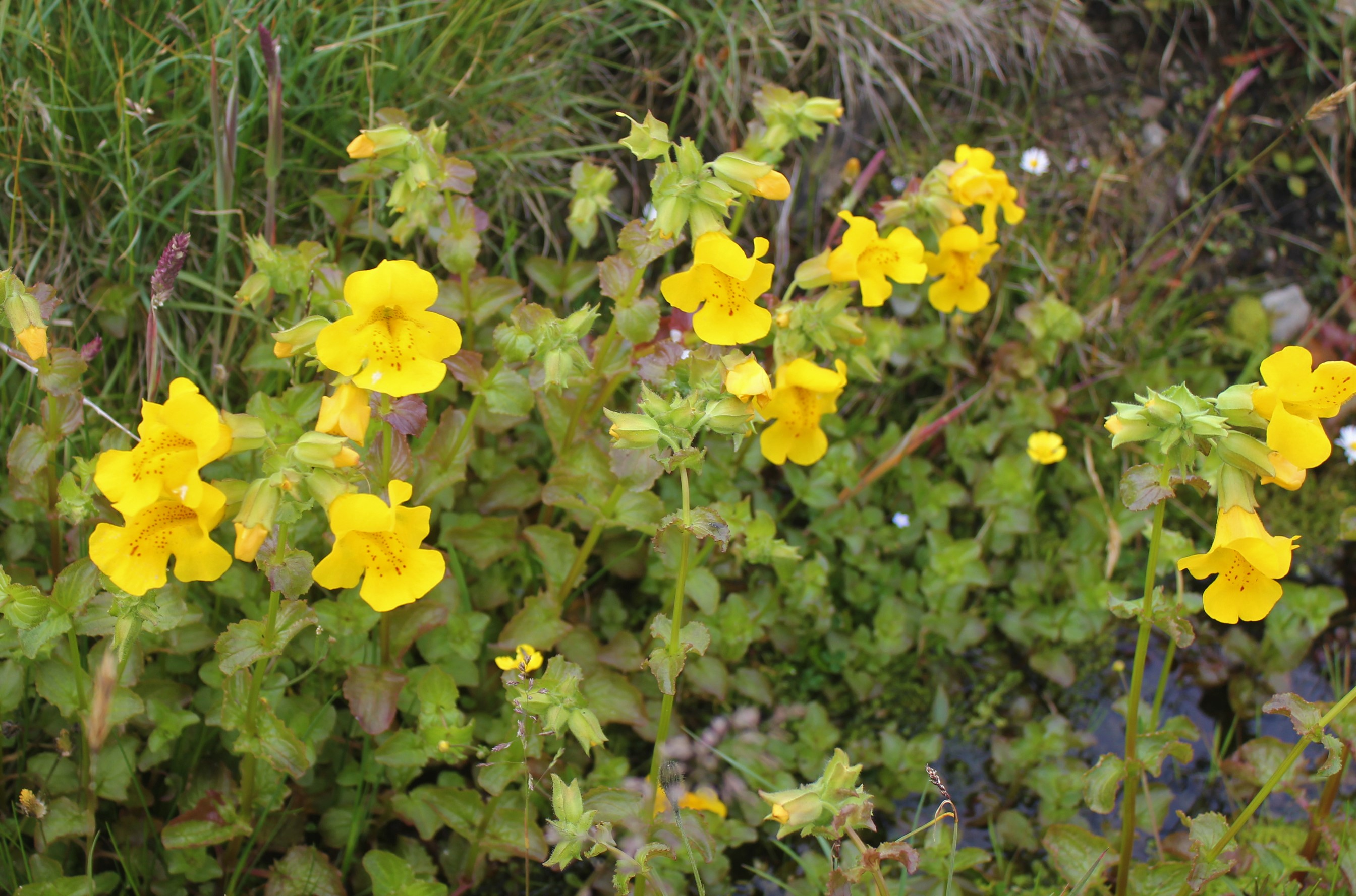 Monkeyflower,